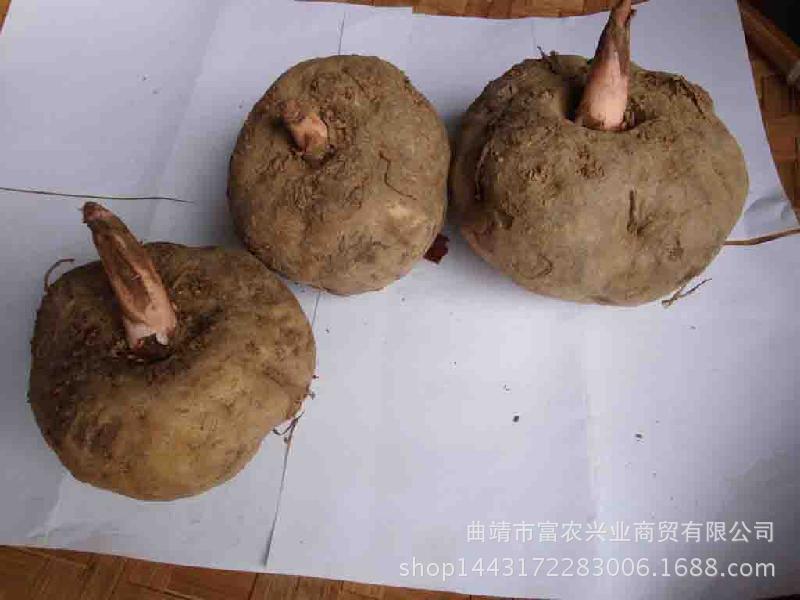 四川宜宾市魔芋种子价格宜宾魔芋种子报价宜宾魔芋种子批发