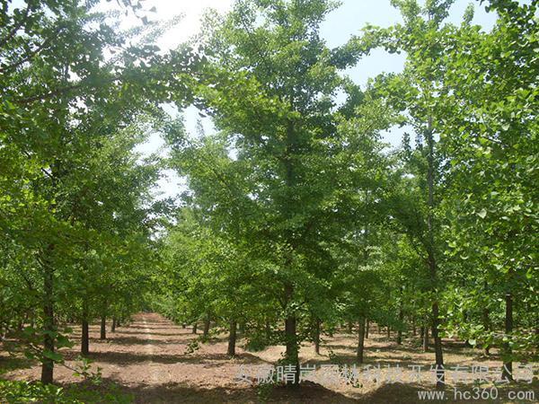 供应绿化苗木花卉苗木1