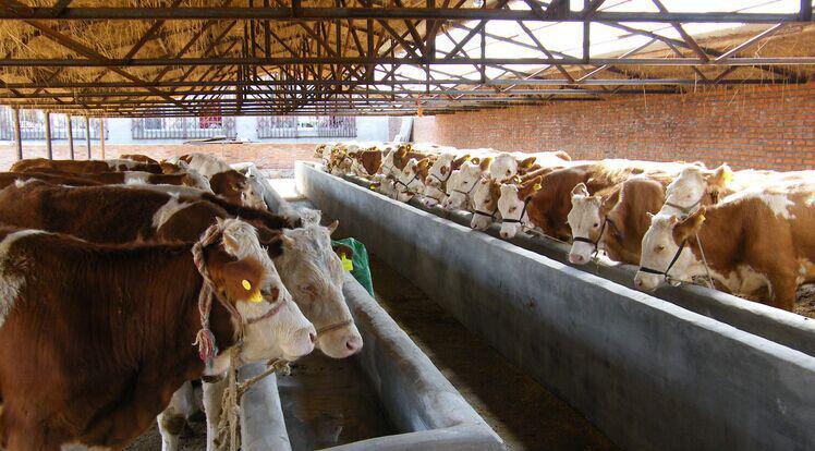 夏洛莱肉牛--夏洛莱牛犊--夏洛莱肉牛犊1