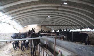 肉牛牛犊价格改良肉牛价格东北黄牛养殖4