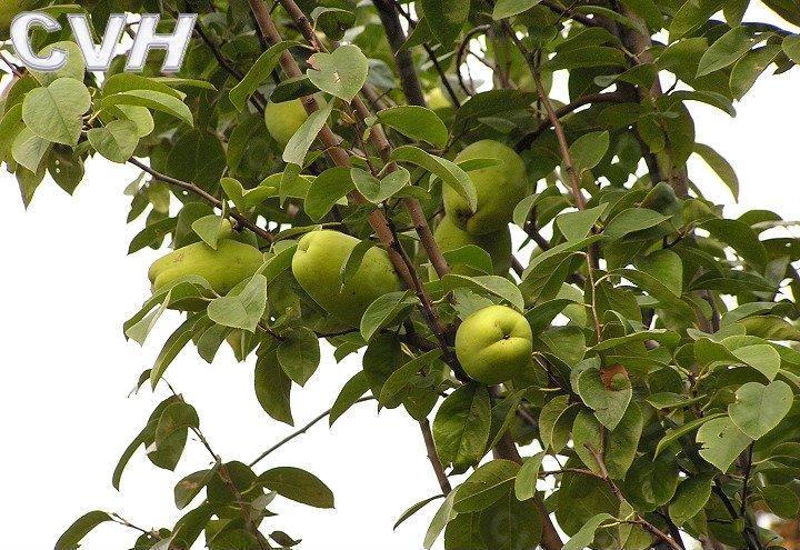 菏泽现货大量供应(直销)木瓜树