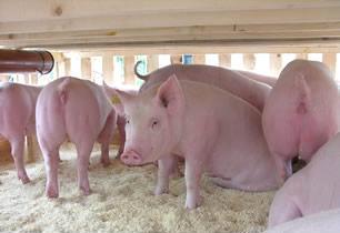 福利猪业常年出售仔猪母猪.品种有三元 土杂猪 太湖母猪