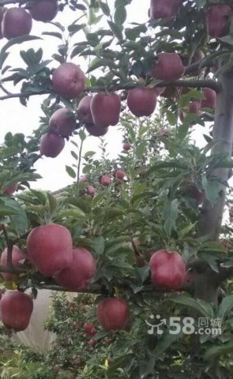 天水花牛苹果苗 富士苗  樱桃苗等苗木出售