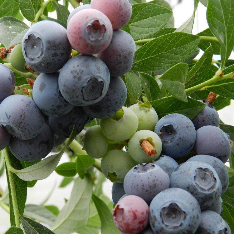 基地直销优质蓝莓果树苗 蓝莓苗 嫁接苗 盆栽 品种规格多