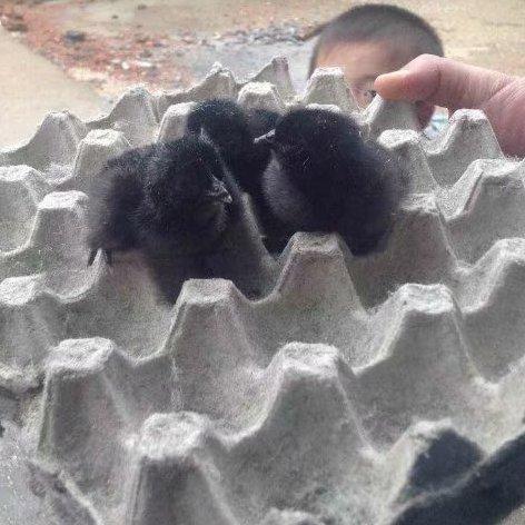本厂供应五黑一绿鸡苗绿壳蛋鸡苗乌骨鸡苗黑鸡苗五黑鸡苗量大优惠多