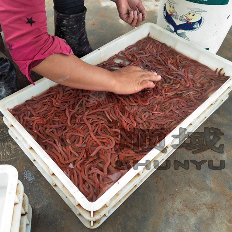 湛江顺域水产活沙蚕  批发钓鱼虫 红青虫钓鱼虫 虾母饲料