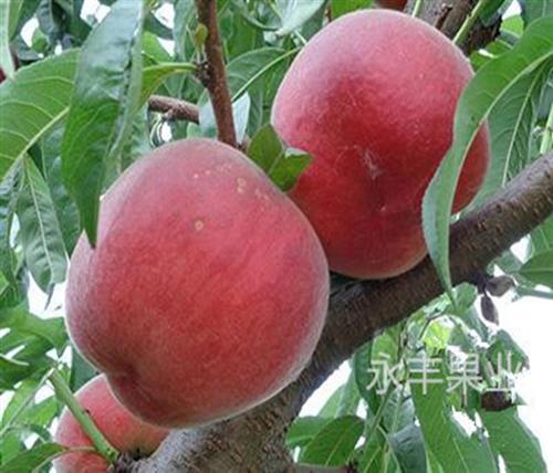 内蒙古新品种桃苗,永丰桃树苗批发(图),新品种桃苗品种