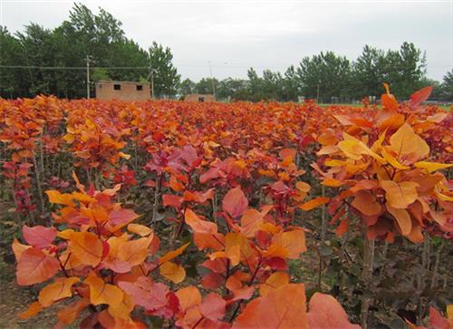 旅游景区杨树种植园,济南杨树种植园,中兴苗木