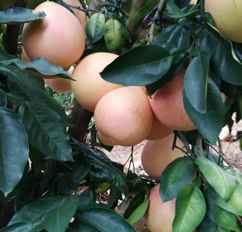 供应 三红蜜柚红心柚子平和三红柚