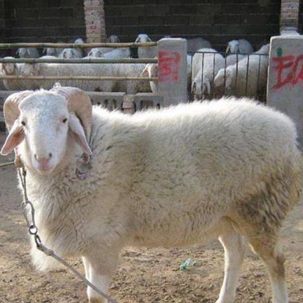 供应 纯种小尾寒羊羊羔