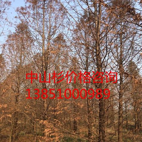 供应优质14公分中山杉 优质15公分中山杉