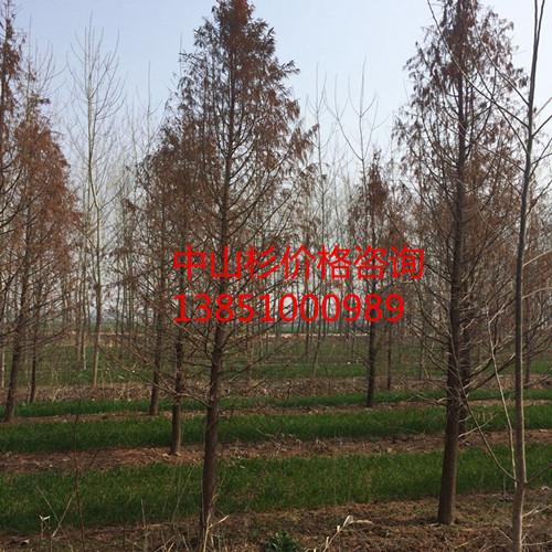 优质13公分中山杉树苗 优质14公分中山杉树苗