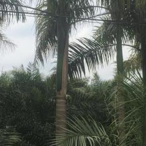 福建省上海大王椰子价格福建省上海大王椰子自产自销福建省上海大王椰子品大量供应上海大王椰子基地