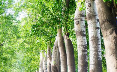 广西平南绿源桉树苗场
