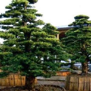 出售精品造型罗汉松 别墅观赏绿化苗木 价格实惠 湖南罗汉松基地直供
