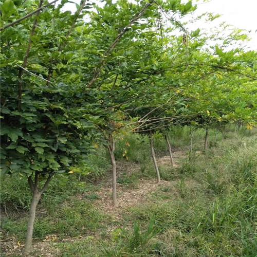 供应1米紫藤树苗价格
