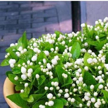 批发供应茉莉花苗 室内观花植物 芳香 四季常青盆栽花卉4年大苗