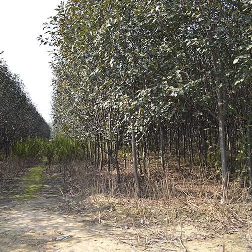基地供应3-5cm王族海棠等园林绿化苗木 品质优 树型好