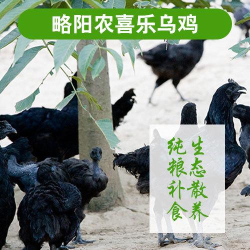 略阳乌鸡生态乌鸡 林间散养土鸡 健康滋补 乌鸡批发 产地直供量大从优 母鸡2-2.5斤