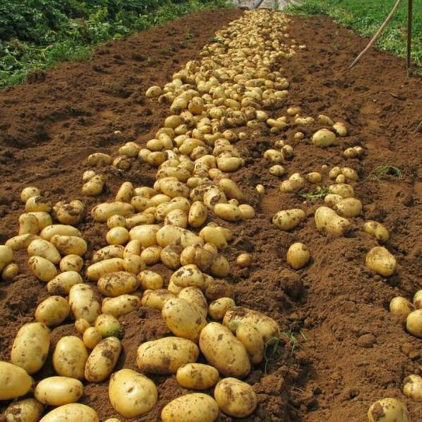 大量供应广西平南马铃薯新鲜土豆小洋芋200万斤