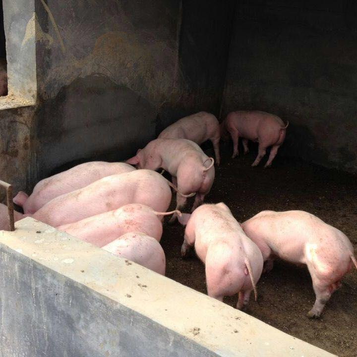 山东猪场仔猪低价出售 常年供应山东仔猪