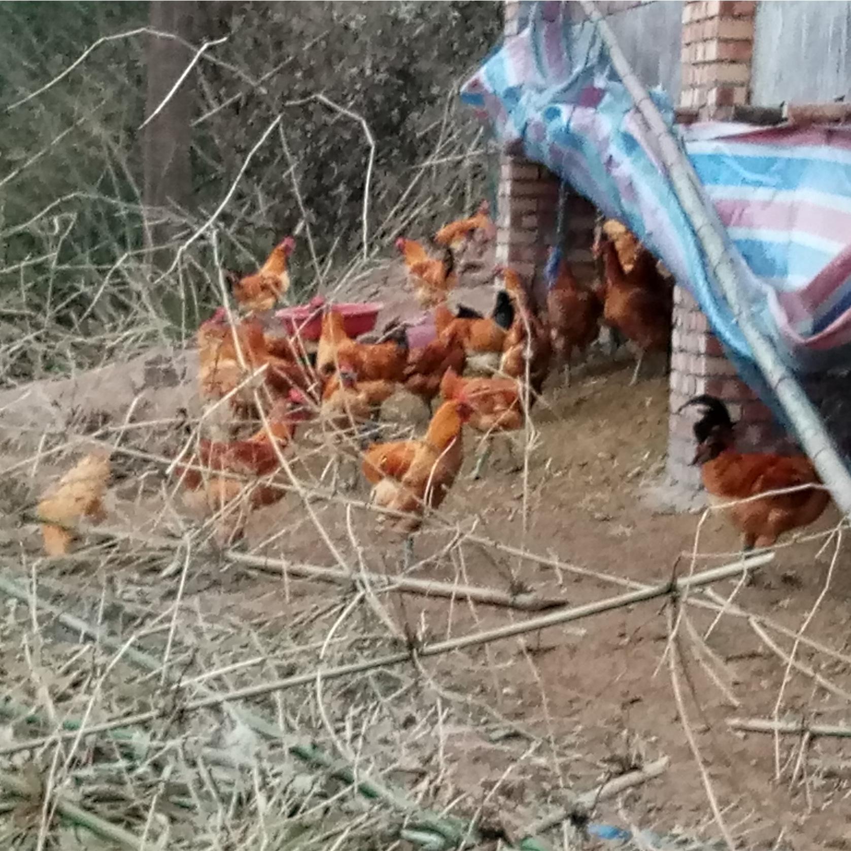 散养土鸡 橄榄鸡 营养丰富 肉质鲜嫩