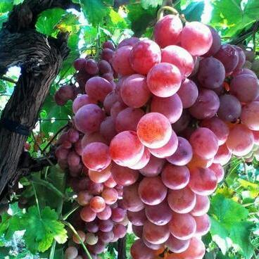 供应 新鲜水果葡萄提子多汁 10斤45元