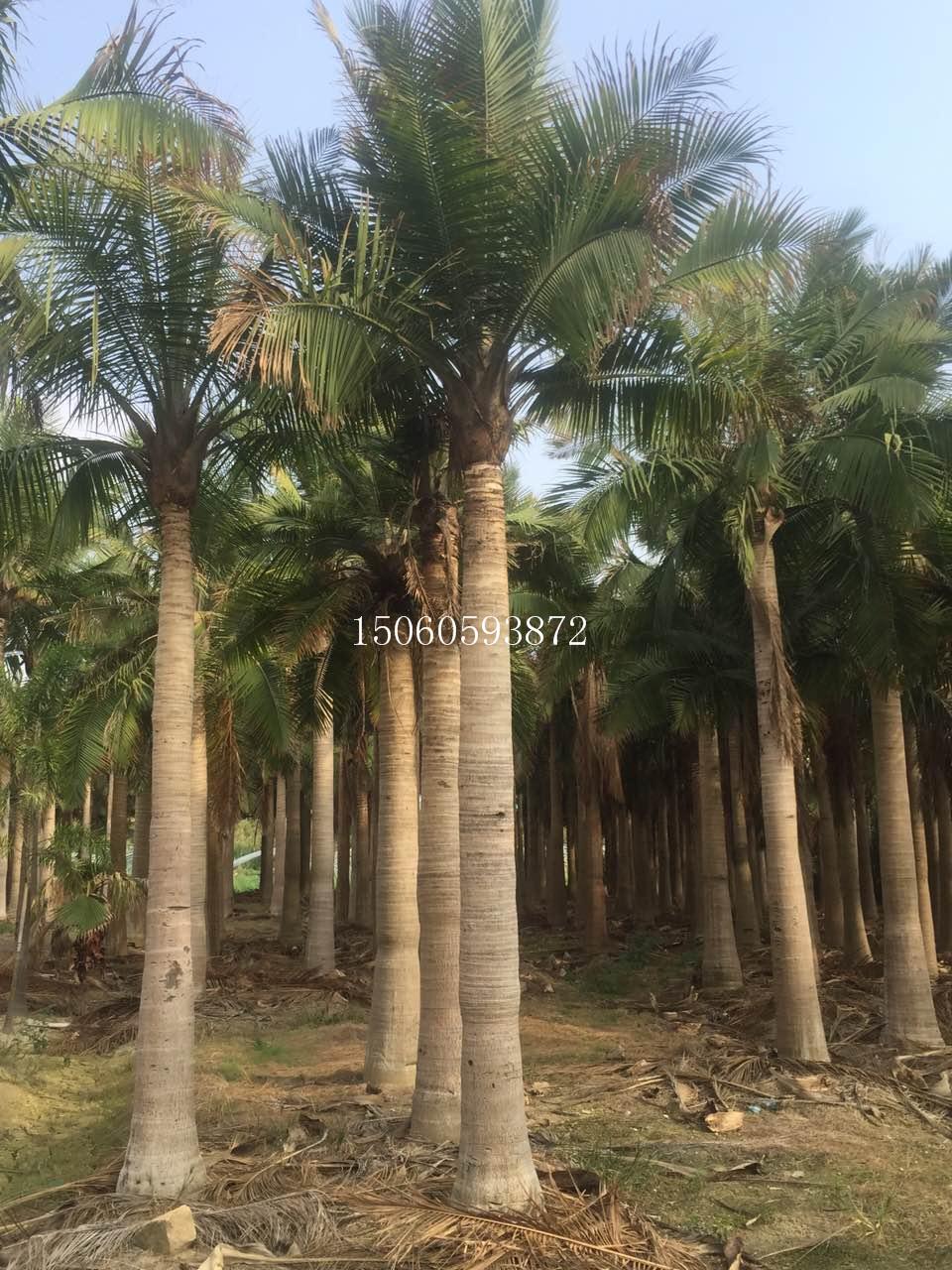 广东国王椰子苗木供应 广东优质国王椰子基地直销 广东国王椰子棕榈