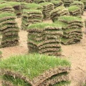 句容草坪直供百慕大草坪 天堂草坪 马尼拉草坪 电15961543375