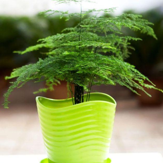 【基地直供】批发文竹(90) 观叶植物小盆栽创意绿植竹子花苗