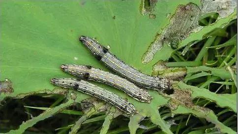 莲藕地蛆和斜纹夜蛾该如何防治?
