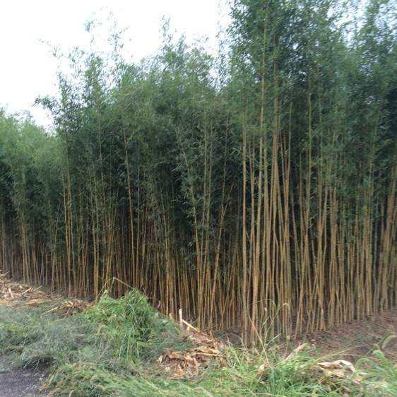 供应四季常青毛竹苗批发庭院观赏 竹类植物市政工程绿化毛竹子苗