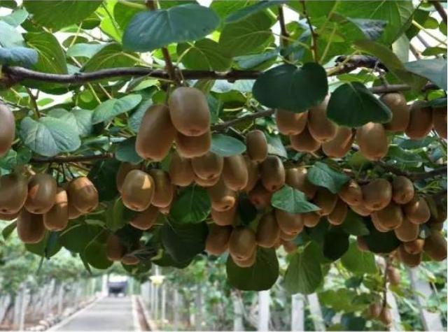强降雨过后猕猴桃及时清园杀菌!及时进行补救,进行植株养护