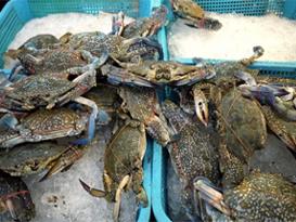 固城湖大闸蟹快于阳澄湖大闸蟹,9月15日就可以开捞上市