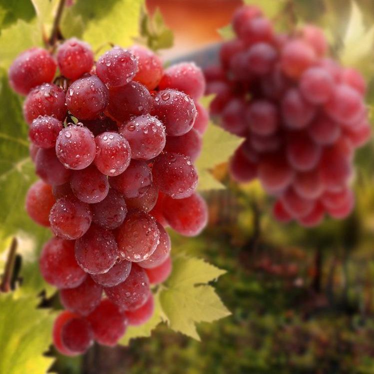 贵州绥阳金色阳光克瑞森 葡萄 新鲜水果 现摘现发