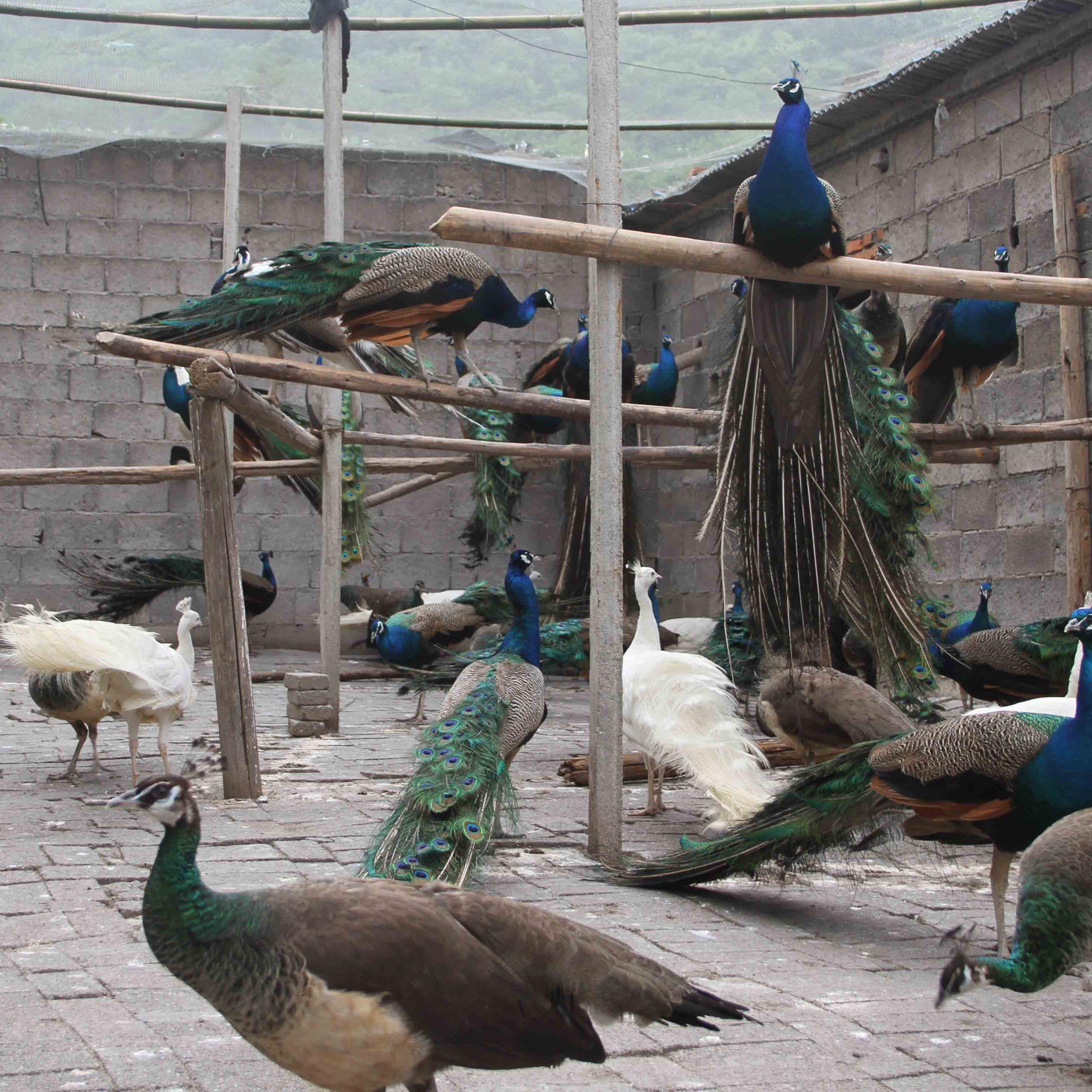 景区生态园动物园观赏孔雀供应尾羽2米