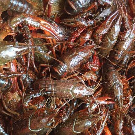 鑫瑞水产专业龙虾种苗厂家直销安全可靠量大从优利润大