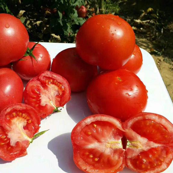 供应 攀枝花水果西红柿新鲜番茄5斤装番茄基地现采现摘产地直销