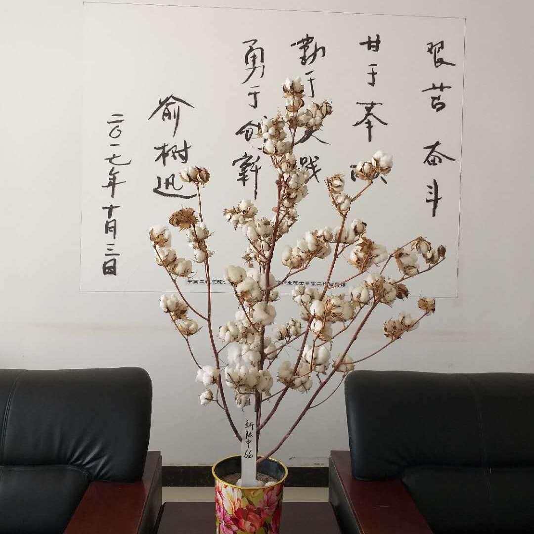 新疆高产棉花种子|新陆中66|价格|厂家|守信种业