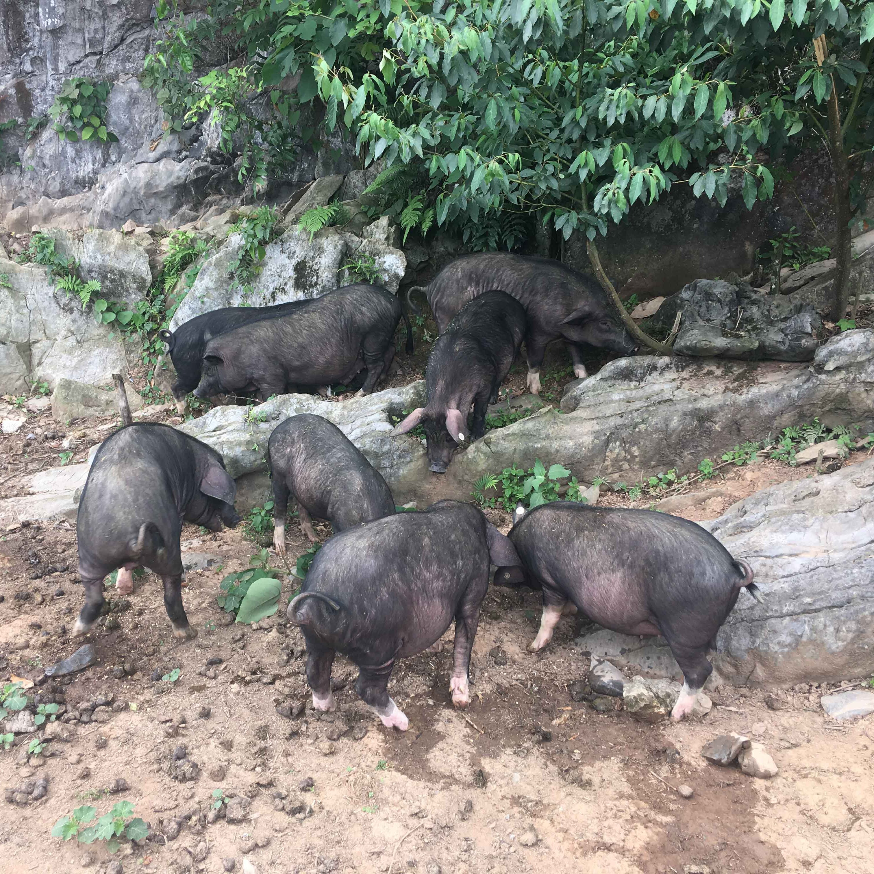 广西那坡县黑香猪  绿色食品  质量保证