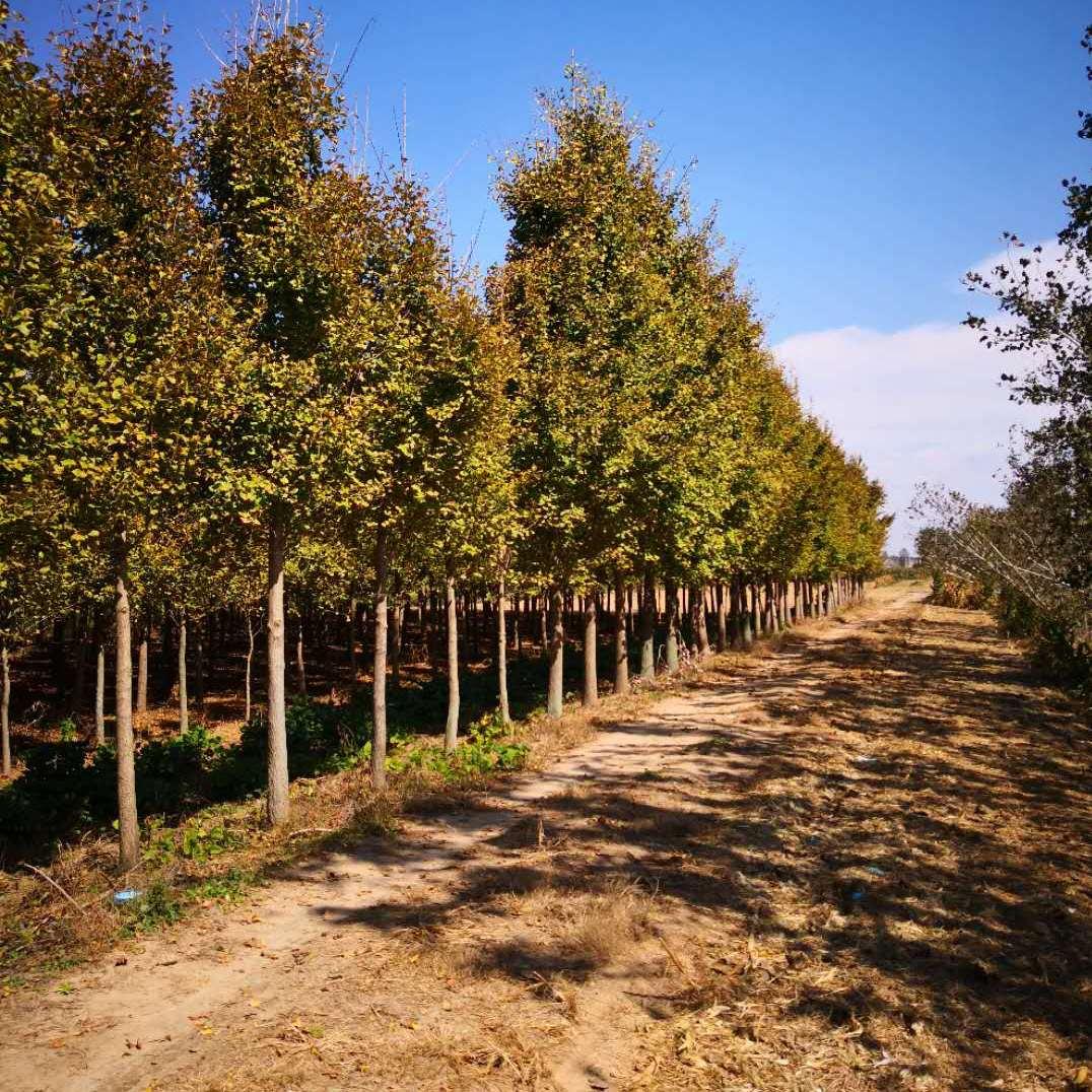 10公分银杏树12公分银杏树20公分银杏树