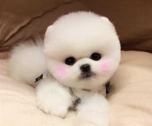 博美犬价格、博美、尊宠天下国际宠物俱乐部