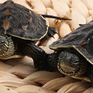 中华花龟 活体小乌龟龟苗 珍珠龟六线草龟宠物观赏龟