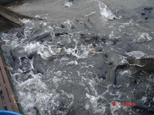漁夫水產貿易有限公司(圖)、紅燒鯇魚、鯇魚