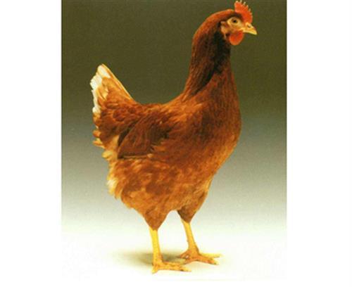 華帥青年雞(在線咨詢)|南充青年雞|優質青年雞價格