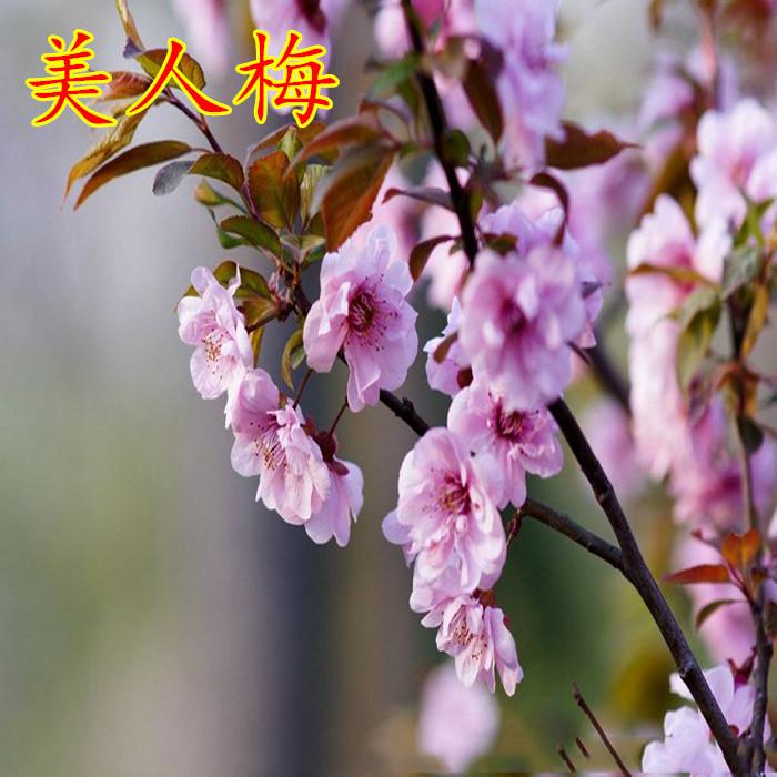 梅花盆景树桩梅花树苗腊梅苗红梅绿梅乌梅花苗盆栽美人梅