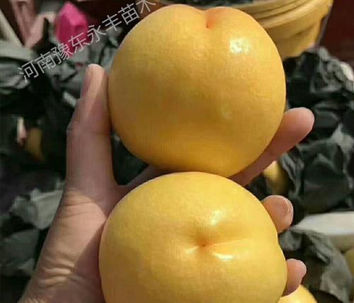 湖南新品种桃苗_永丰桃树苗批发_新品种桃苗图片