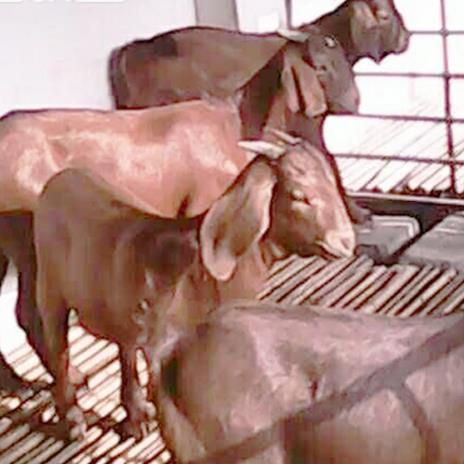 供应 适合山区养殖的黄羊