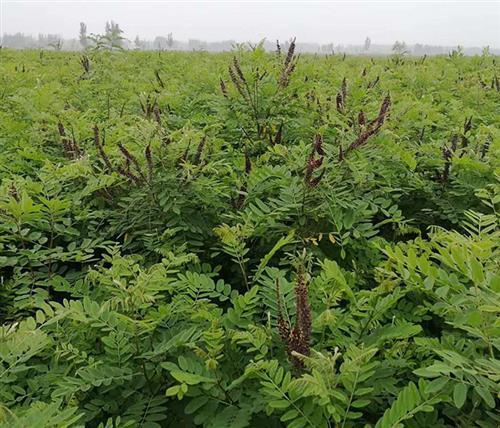 优质紫穗槐苗|紫穗槐|紫林种植品质好(在线咨询)