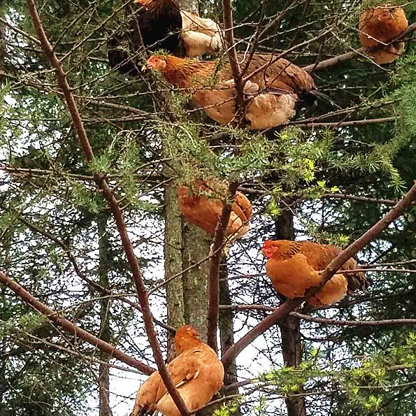 东北农家散养大红笨公鸡老母鸡月子鸡活鸡土鸡走地鸡溜达鸡草鸡